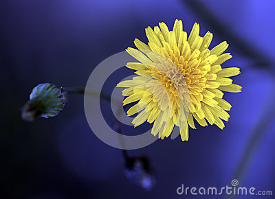 Одичалая хризантема