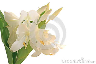 Белый цветок лилии имбиря