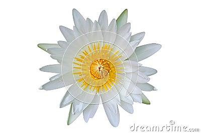 Лилия белой воды