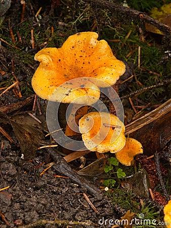 黄蘑菇蘑菇,他们增长