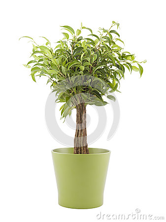在绿色罐的榕属本杰明