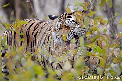 孟加拉老虎