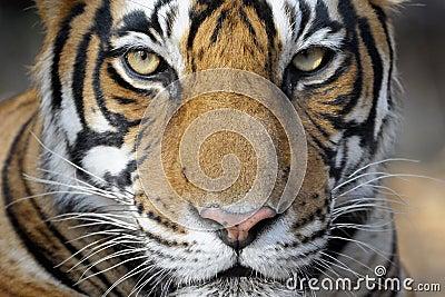 Тигр Бенгалии