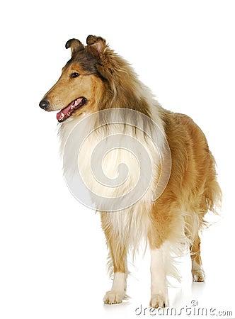 概略的大牧羊犬身分