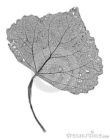 скелет листьев