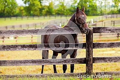 在农场的马