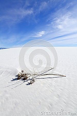 在空白沙子的干丝兰