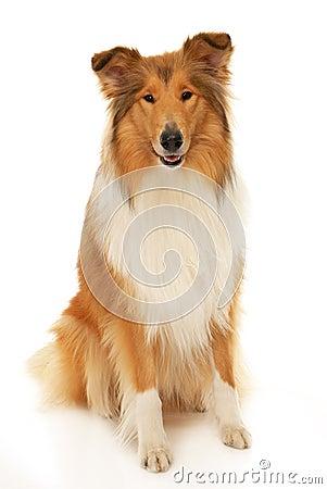 Грубая собака Коллиы