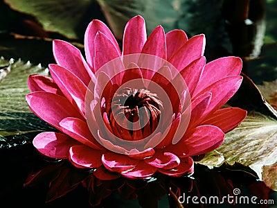 在一个黑暗的池塘的桃红色荷花在绿色叶子之中