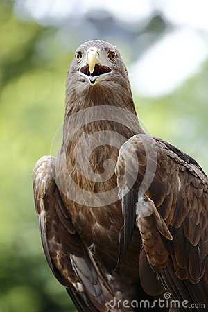 Вид спереди орла