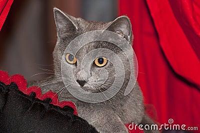 Γάτα έκθεσης