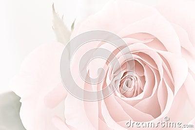 柔和的淡色彩玫瑰特写镜头