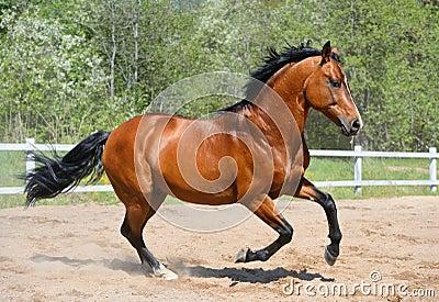 乌克兰骑马品种海湾公马