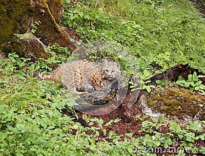 在草丛的美洲野猫
