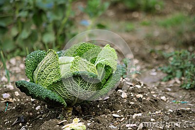 Λάχανο κραμπολάχανου