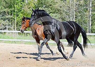 黑色公马和在行动的海湾公马