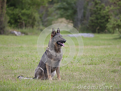 Собака немецкого чабана