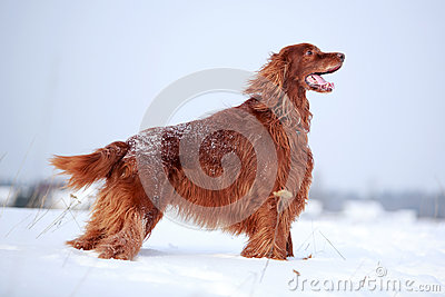 Κόκκινο ιρλανδικό σκυλί ρυθμιστών