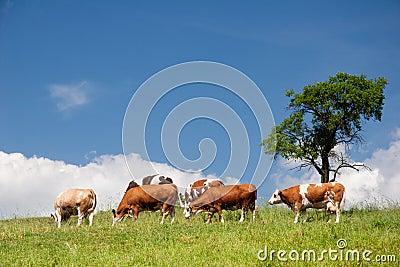 Θερινό τοπίο με τις αγελάδες