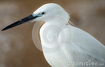 白色苍鹭画象