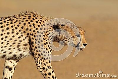偷偷靠近的猎豹