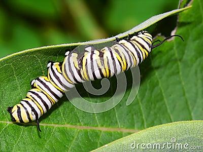 Гусеница монарха в Иллинойсе