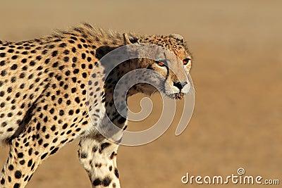 Преследуя гепард
