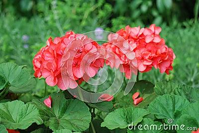 红色大竺葵