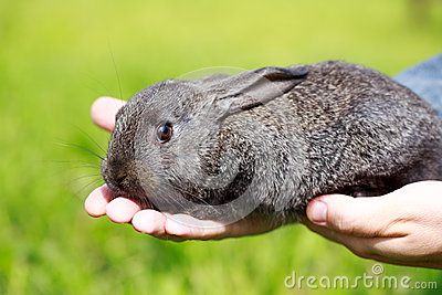 小的灰色兔子