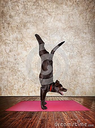 做在红色瑜伽席子的瑜伽狗手倒立姿势在瑜伽大厅里.