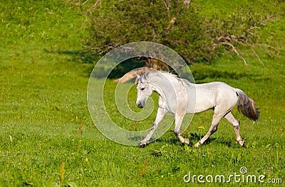 Серые арабские галопы лошади
