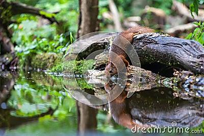 Κόκκινος σκίουρος