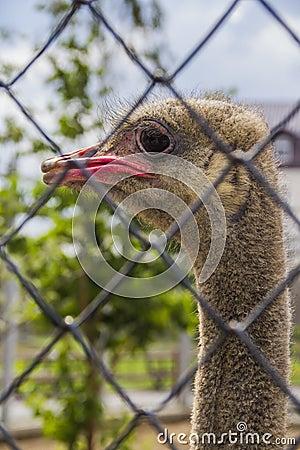 美丽的滑稽的驼鸟