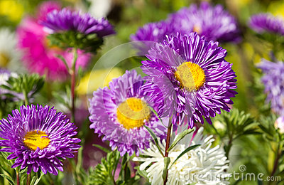 五颜六色的翠菊花