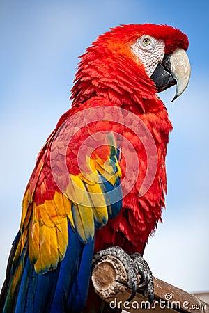 猩红色金刚鹦鹉