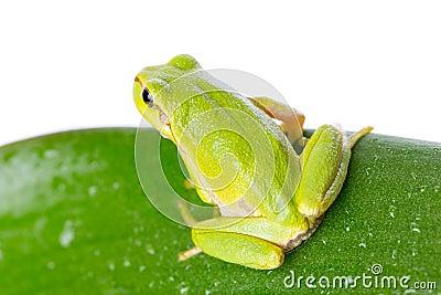 Πράσινος βάτραχος δέντρων στο φύλλο