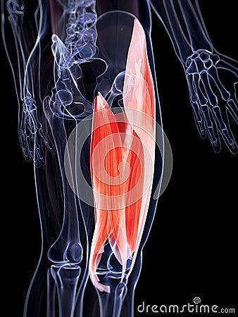 上部腿肌组织 免版税库存图片 - 图片: 3416507