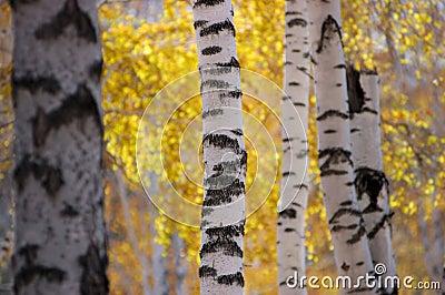 березовая древесина