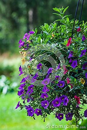 Фиолетовые цветки в цветени