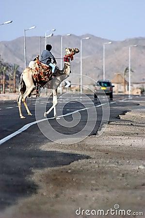 骆驼横穿路