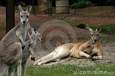 кенгуруы
