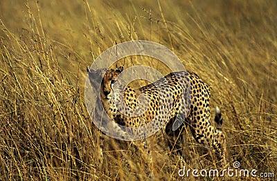 猎豹偷偷靠近