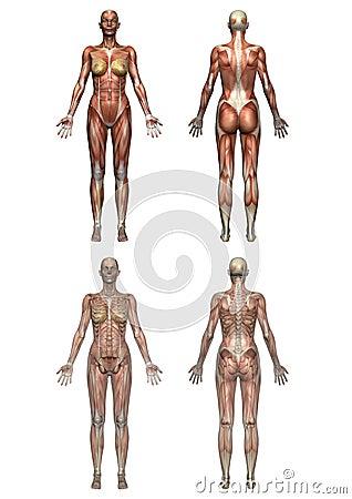 женщина анатомирования