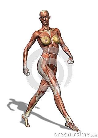 女性肌组织走 库存图片 - 图片: 5034821