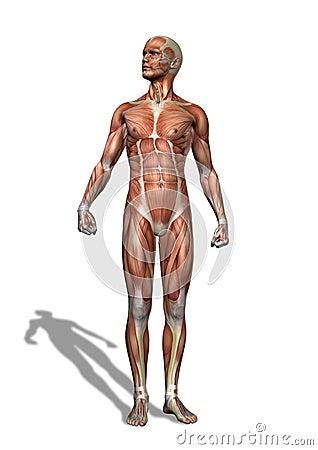 男性肌组织身分 免版税库存照片 - 图片: 50350