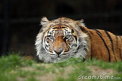 偷偷靠近的老虎