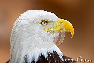 портрет облыселого орла