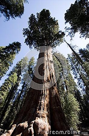 通用美国加州红杉谢尔曼结构树