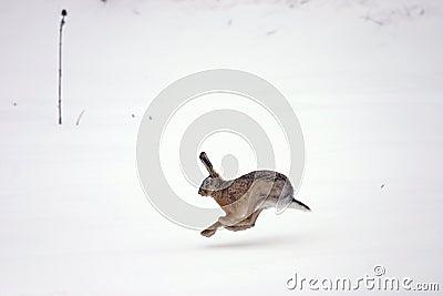 欧洲野兔运行中