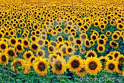 солнцецветы поля